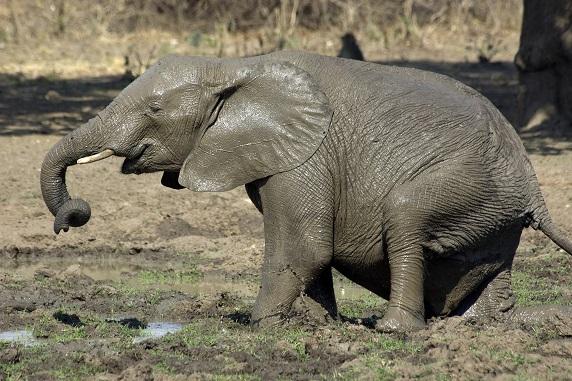 Der Afrikanische Steppenelefant – hier ein Jungtier beim beliebten Schlammbad – ist eine andere Art als der Afrikanische Waldelefant Foto: Roland Knauer