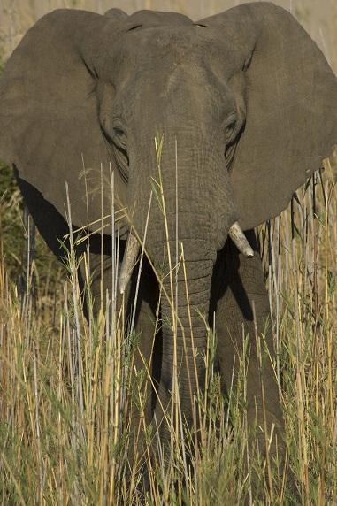 Afrikanischer Steppenelefant im North Luangwa-Nationalpark in Sambia Foto: Roland Knauer
