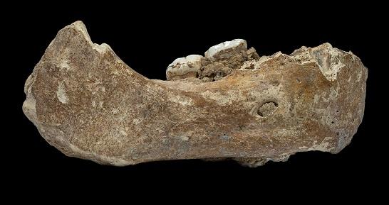 Dieser Unterkiefer mit den auffallend großen Backenzähnen gehörte zu einem Denisovaner, der vor mindestens 160.000 Jahren auf der Hochebene von Tibet lebte Foto: Dongju Zhang, Lanzhou Universität